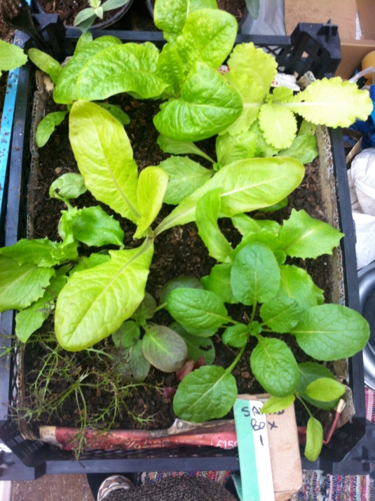 Salad Box 1-25th Dec, before cropping