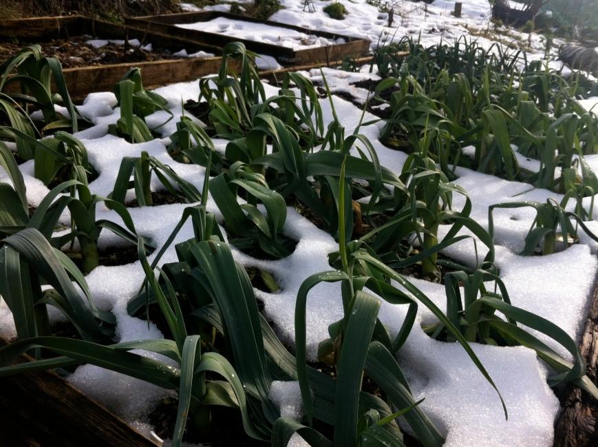 overwintering leeks - snow thawing