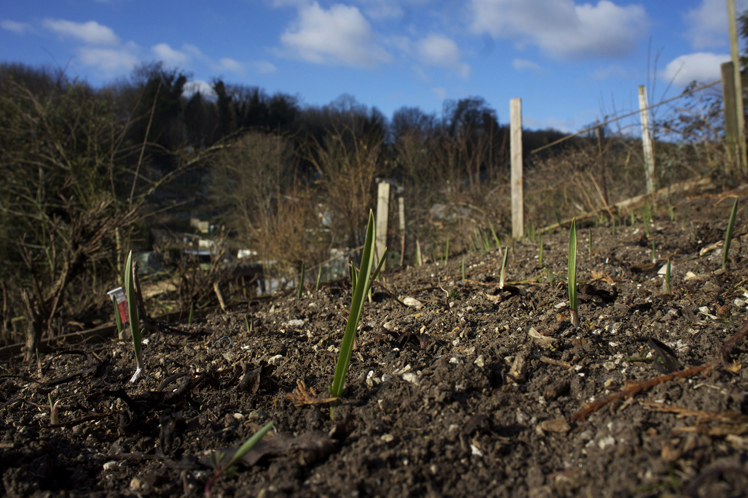 garlic growing on the hillside