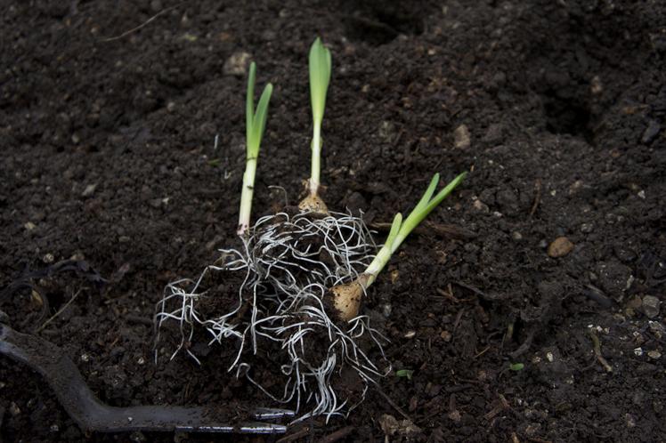 jims dads garlic [planting]3