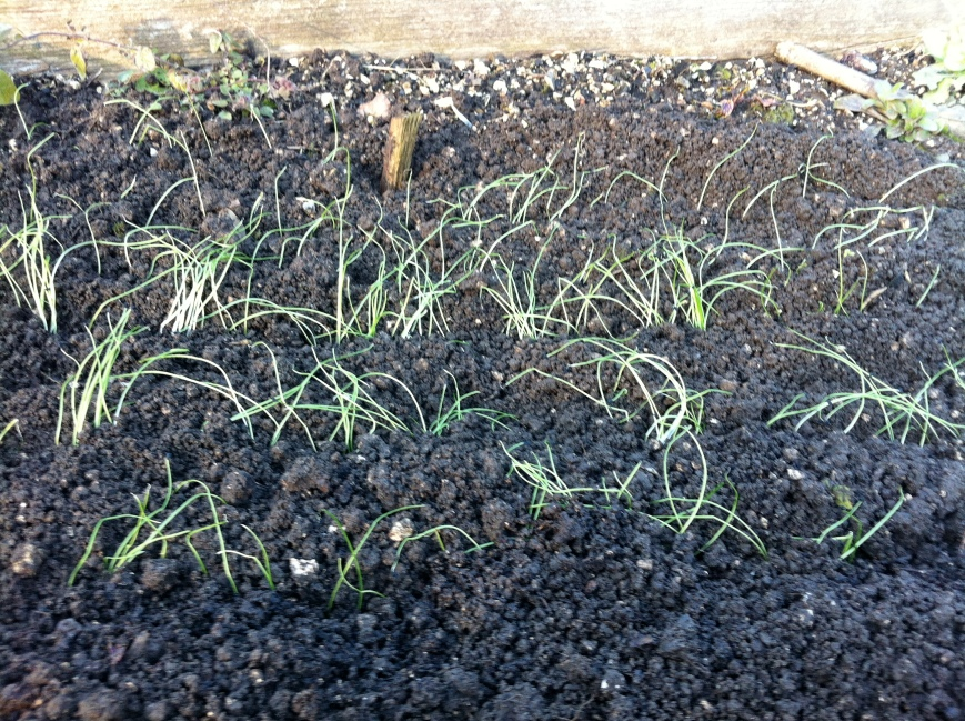 early leek seedlings-February '13