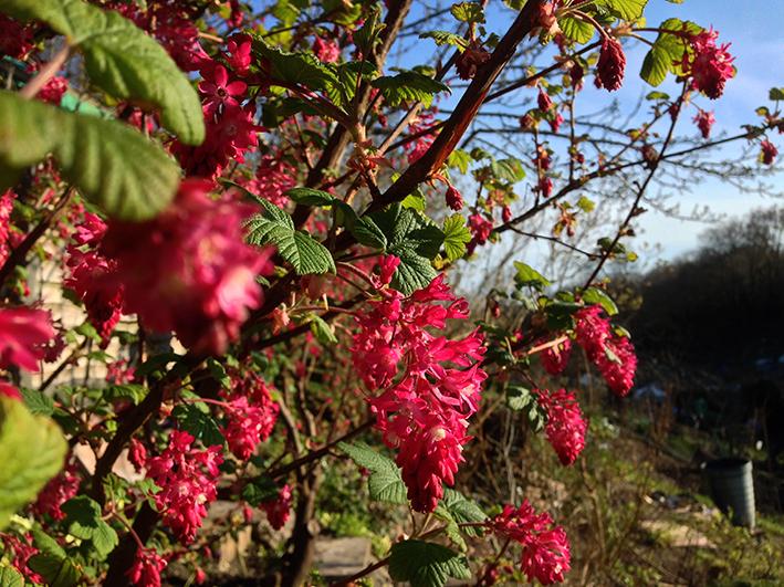 flowering currant