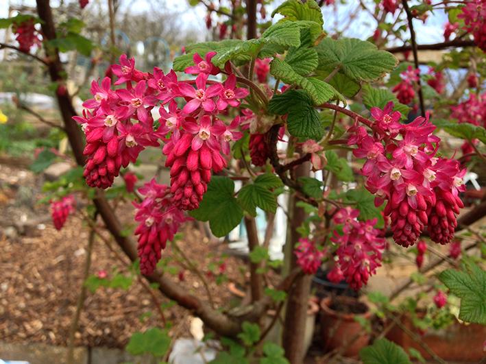 flowering current_1