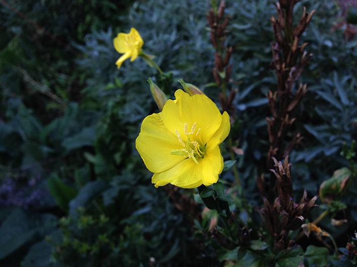 evening-primrose-1