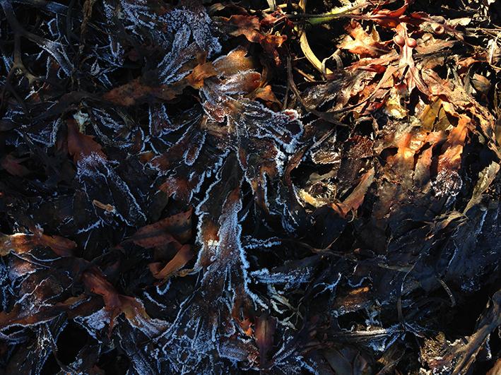 frozen-seaweed-1