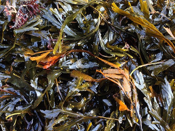 seaweed_saltdean