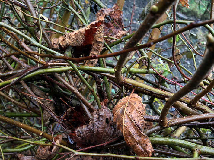withered-leaves_hedge_allotment