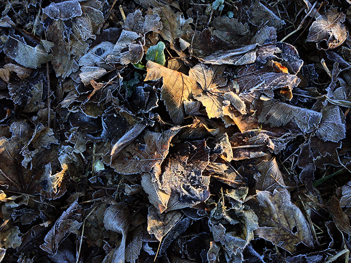 frost-covered-leaves